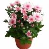 Виростила хризантему з букета, як далі доглядати?