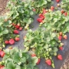 Висока врожайність, захищеність, мінімізація праці - агроволокно для вирощування полуниці