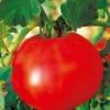 Високоврожайний і терпимий до нестачі вологи - сорт томата «титанік» f1