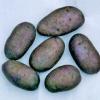Загадка картопляних грядок - опис і характеристики картоплі «чорний принц»