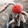 Заготовки шипшини на зиму в домашніх умовах: чи можна заморожувати плоди без шкоди для врожаю?