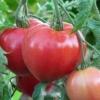 Чудовий новий сорт томата «абаканский рожевий» - де і як вирощувати, опис характеристик, фото помідор