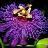 Вітаю! У мене квітка кордилина (ківі)