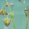 Сунично-малиновий довгоносик, заходи боротьби з ним, найбільш ефективні препарати