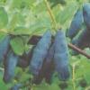 Жимолость - садові цілителька, ірина ісаєва