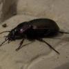Жужелиця - корисний садовий хижак, збереження корисних комах в саду