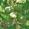 Зимостійкі горіхи народної та наукової селекції для нечорнозем`я