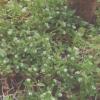 Звездчатка, мокриця, пташиний салат - лікарська рослина, застосування в медицині